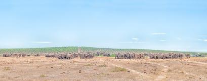 Mehr als 200 Elefanten, die warten, um zu trinken Stockbild