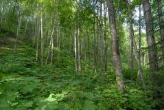 Mehr Blätter unter den Espenbäumen stockbild