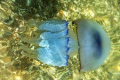Mehr Tiefenquallen, die in die Seelagune infolge t schwimmen Stockbilder