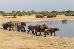 Mehrere hörten von afrikanische Elefanten am waterhole Lizenzfreies Stockfoto