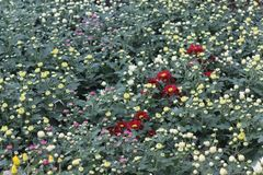 Mehrfache Farbechrysantheme knospt &flower im Garten Stockbilder