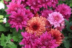 Mehrfache Farbechrysanthemenblume im Garten Stockbilder