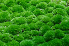 Mehrfache Grasball-Oberseiteansicht werden mit irgendeinem Bruch von trockenen Blättern umfasst Stockfoto