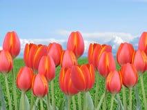 Mehrfache rote orange Tulpen auf einem Gebiet mit grünem Gras und blauem Himmel Stockbild
