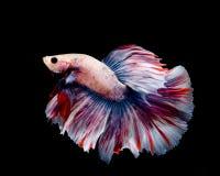 Mehrfarben-betta Fische stockfotografie