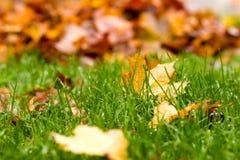 Mehrfarbige Ahornblätter auf grünem Gras Stockbilder