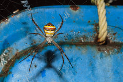 Mehrfarbige Argiope-Spinne, Argiope versicolor Lizenzfreies Stockbild