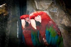 Mehrfarbige Aronstabpapageien sitzen auf einer Niederlassung in einem Käfig in einem Zoo mit schlechtem Ausdruck Stockfotos