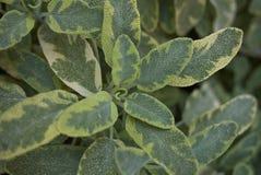 Mehrfarbige Blätter von Salvia-officinalis icterina lizenzfreies stockbild