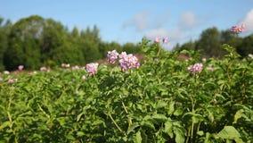 Mehrfarbige Blumen der Kartoffelpflanze stock video