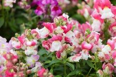 Mehrfarbige Blumen von Löwenmäulern Stockfotografie