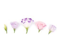 Mehrfarbige Eustomablumen lokalisiert auf weißem Hintergrund Stockfoto