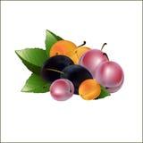 Mehrfarbige Gartenpflaumen in einem Satz lizenzfreie abbildung