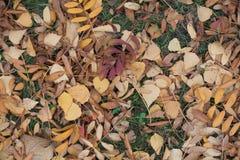 Mehrfarbige gefallene Blätter der Eberesche und der Birke Stockfoto