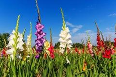 Mehrfarbige Gladioleblumen auf dem Gebiet Stockfotografie