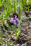 Mehrfarbige Iris, die im Frühjahr blüht Lizenzfreies Stockfoto
