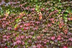 Mehrfarbige Ivy Leaves With Raindrops And-Grün-Niederlassung Nasse bunte Ivy Leaves In Autumn, weiße Wand als Hintergrund Wand de lizenzfreie stockbilder