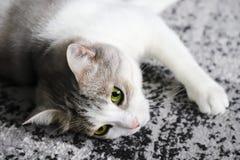 Mehrfarbige Katze liegt auf einem grauen Teppich stockfotografie