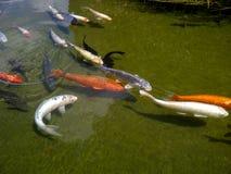 Mehrfarbige koi Fische im Teich Stockfoto
