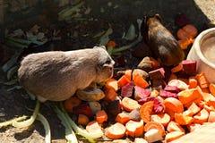 Mehrfarbige Meerschweinchen Stockbilder
