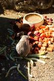 Mehrfarbige Meerschweinchen Stockfotos