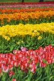Mehrfarbige Reihen der Blumen Stockfoto