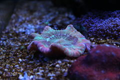 Mehrfarbige strachyphilia LANGSPIELPLATTEN korallenrot Stockbilder