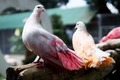 Mehrfarbige Tauben Stockbilder