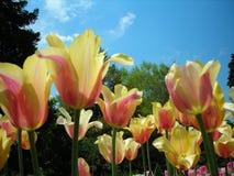 Mehrfarbige Tulpen Lizenzfreies Stockfoto