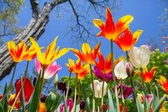 Mehrfarbige Tulpen, Ansicht von unterhalb, gegen den blauen Himmel, bunter Frühlingshintergrund stockfotos