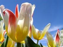 Mehrfarbige Tulpen gegen blauen Himmel Lizenzfreie Stockbilder