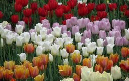 Mehrfarbige Tulpen im Blumenbeet stockfoto