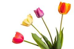 Mehrfarbige Tulpenblumen lokalisiert auf Weiß Lizenzfreie Stockfotografie