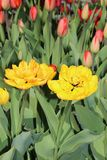 Mehrfarbige Tulpenfrühlingsblüte im Garten stockfotografie