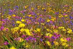 Mehrfarbige Wildflowers nähern sich Liebling S Afrika stockfotografie
