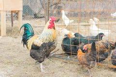 Mehrfarbiger Hahn geht in den gesprenkelten Minihühnerbauernhof Coc Stockfotografie