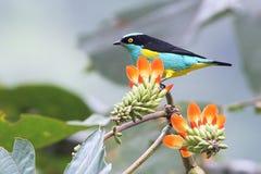 Mehrfarbiger tropischer Vogel u. Blumen in Ecuador Lizenzfreies Stockfoto