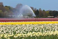 Mehrfarbiges Blumenfeld, das in Holland wässert lizenzfreie stockbilder
