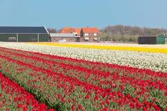 Mehrfarbiges Blumenfeld in Holland stockfotos