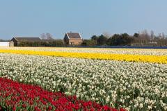 Mehrfarbiges Narzisse- und Tulpefeld in Holland stockbilder