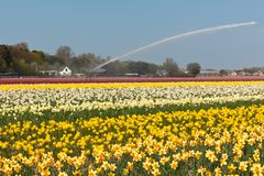 Mehrfarbiges Narzissefeld in Holland stockfoto