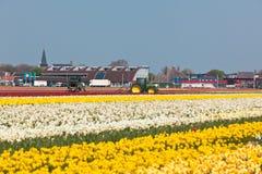 Mehrfarbiges Narzissefeld in Holland lizenzfreies stockfoto