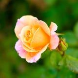 Mehrfarbiges rosafarbenes Detail Stockfoto