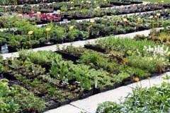 Mehrjährige Pflanze für Verkauf Lizenzfreies Stockfoto
