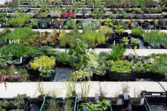 Mehrjährige Pflanze für Verkauf Lizenzfreie Stockbilder