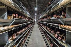 Mehrstufige Fertigungsstraßefördererfertigungsstraße von Hühnereien einer Geflügelfarm Stockfotos