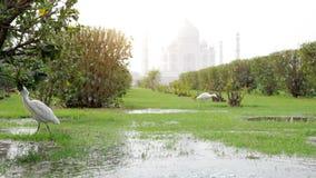 Взгляд Тадж-Махала и белая цапля в Mehtab Bagh паркуют сток-видео