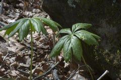 Mei-appel met mos behandelde steen royalty-vrije stock afbeeldingen