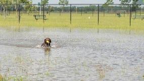 30 mei, 2015 - Beverly Kaufman Dog Park, Katy, TX: honden het spelen Stock Fotografie