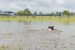 30 mei, 2015 - Beverly Kaufman Dog Park, Katy, TX: honden het spelen Royalty-vrije Stock Afbeelding